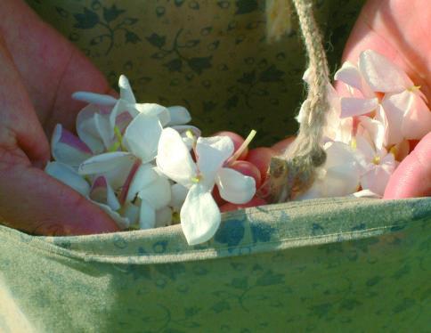 Ramassage du jasmin à Grasse - Galimard