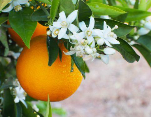 fleurs d'oranger et oranges - Galimard