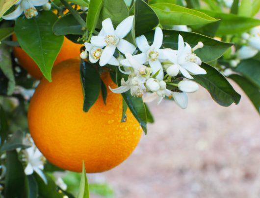 fleurs d'oranger et oranges